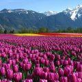 hình ảnh những cánh đồng hoa đẹp nhất thế giới