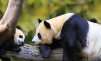 Hình ảnh gấu trúc panda