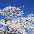 Hình nền hoa Anh Đào