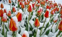 hình ảnh đẹp hoa Tulip trong tuyết