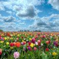 hình nền cánh đồng hoa đẹp rực rỡ