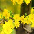hình nền hoa mai đẹp nhất