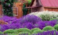hình nền cánh đồng hoa oải hương